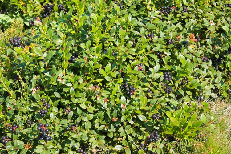 Blueberry Basil Cheesecake Smoothie -9