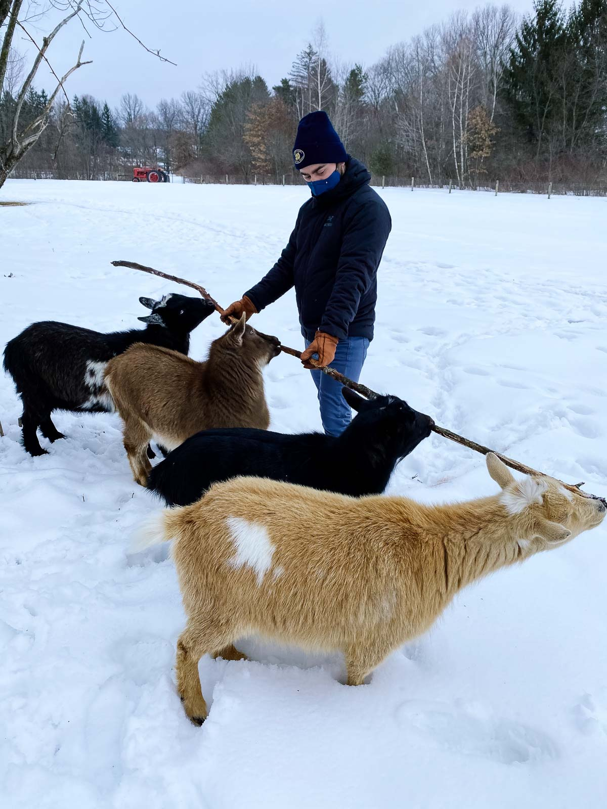 man holding stick with four goats biting the stick in the snow