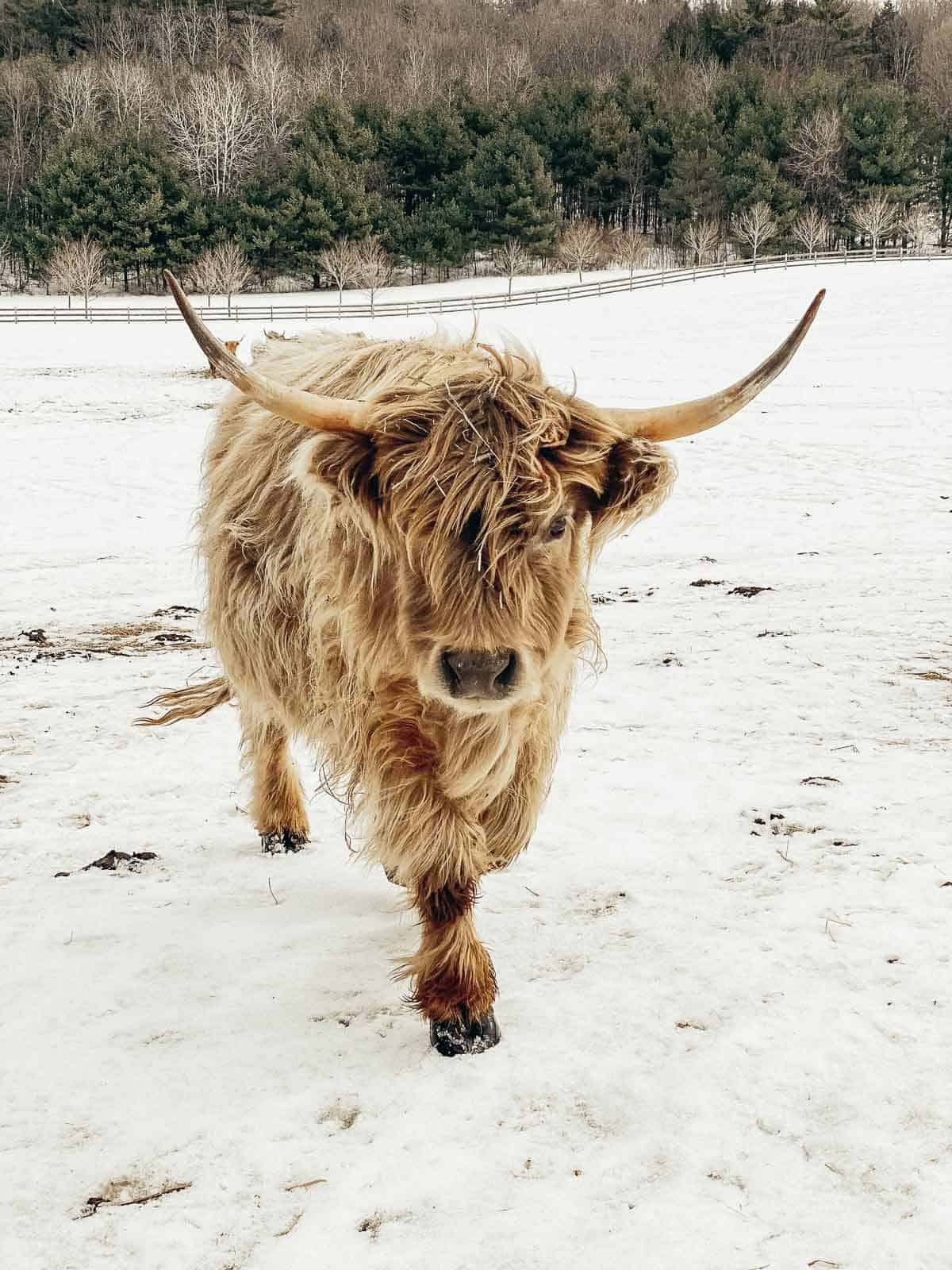 Scottish highland cattle walking in the snow on a farm