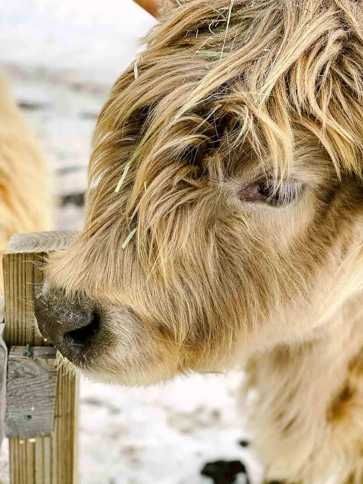 close up side profile of face of Scottish highland cattle