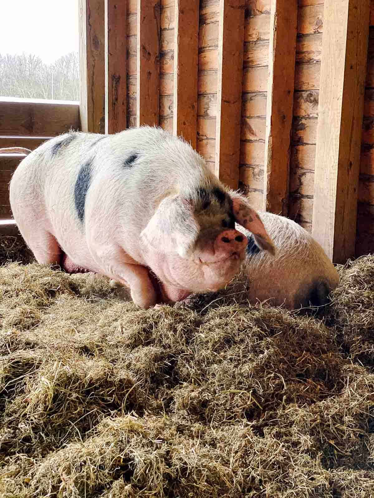 two large pink pigs with black spots on a bed of hay in barn