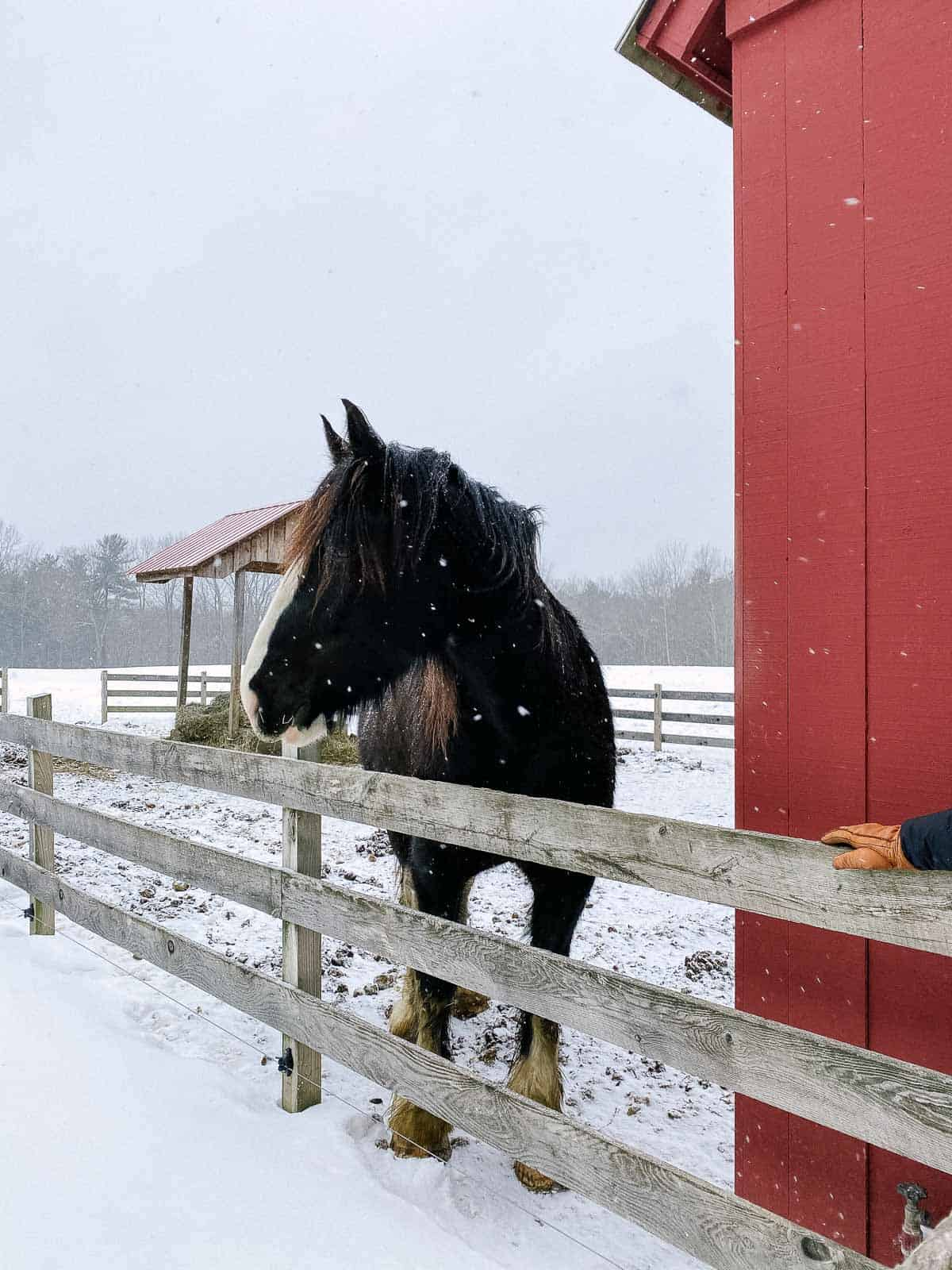 black and white shire horse in the snow next to red barn