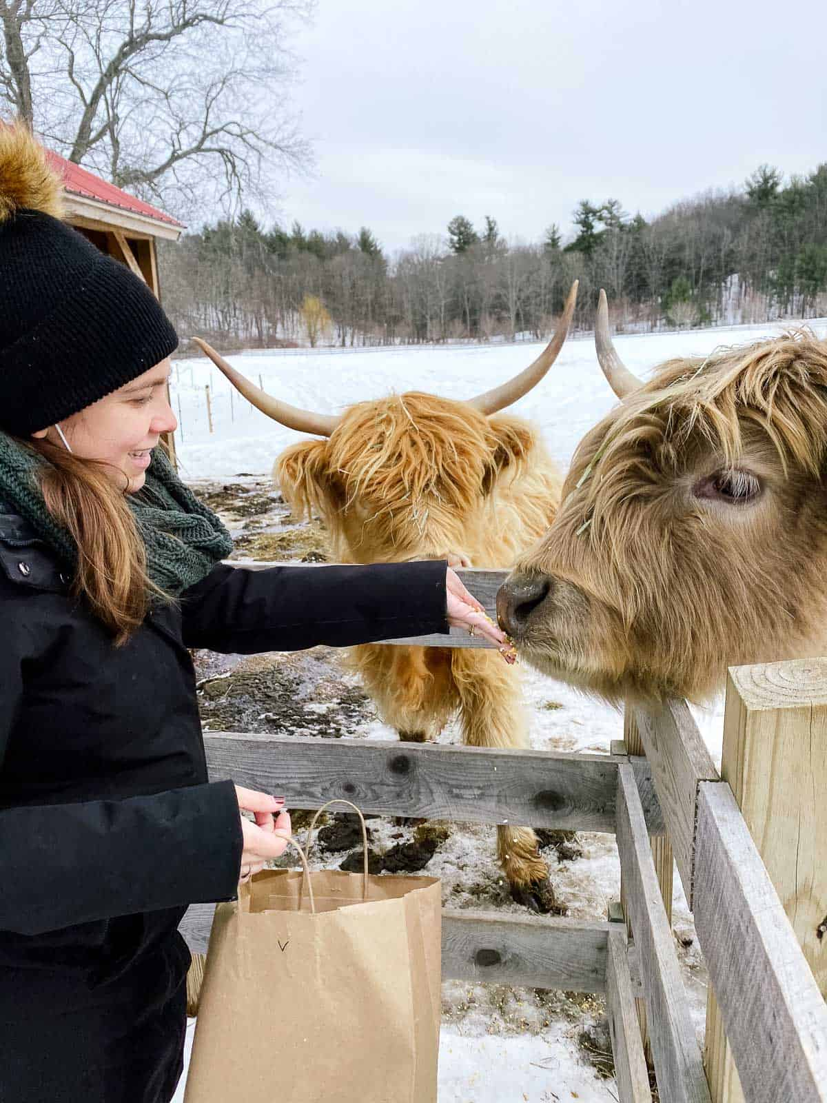 woman in black winter coat feeding two highland cattle at a farm
