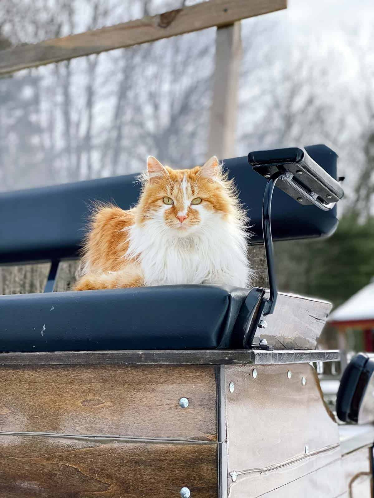 orange and white fluffy cat sitting on a carriage bench