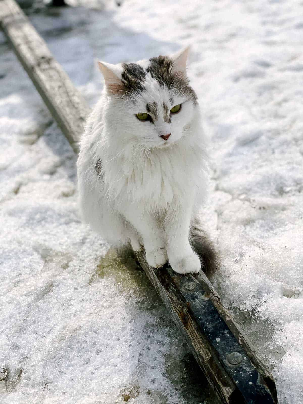 white and grey cat with green eyes and pink nose sits on piece of wood in the snow