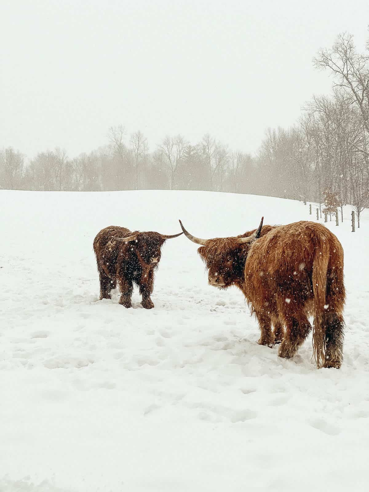 two brown scottish highland cattle in the snow