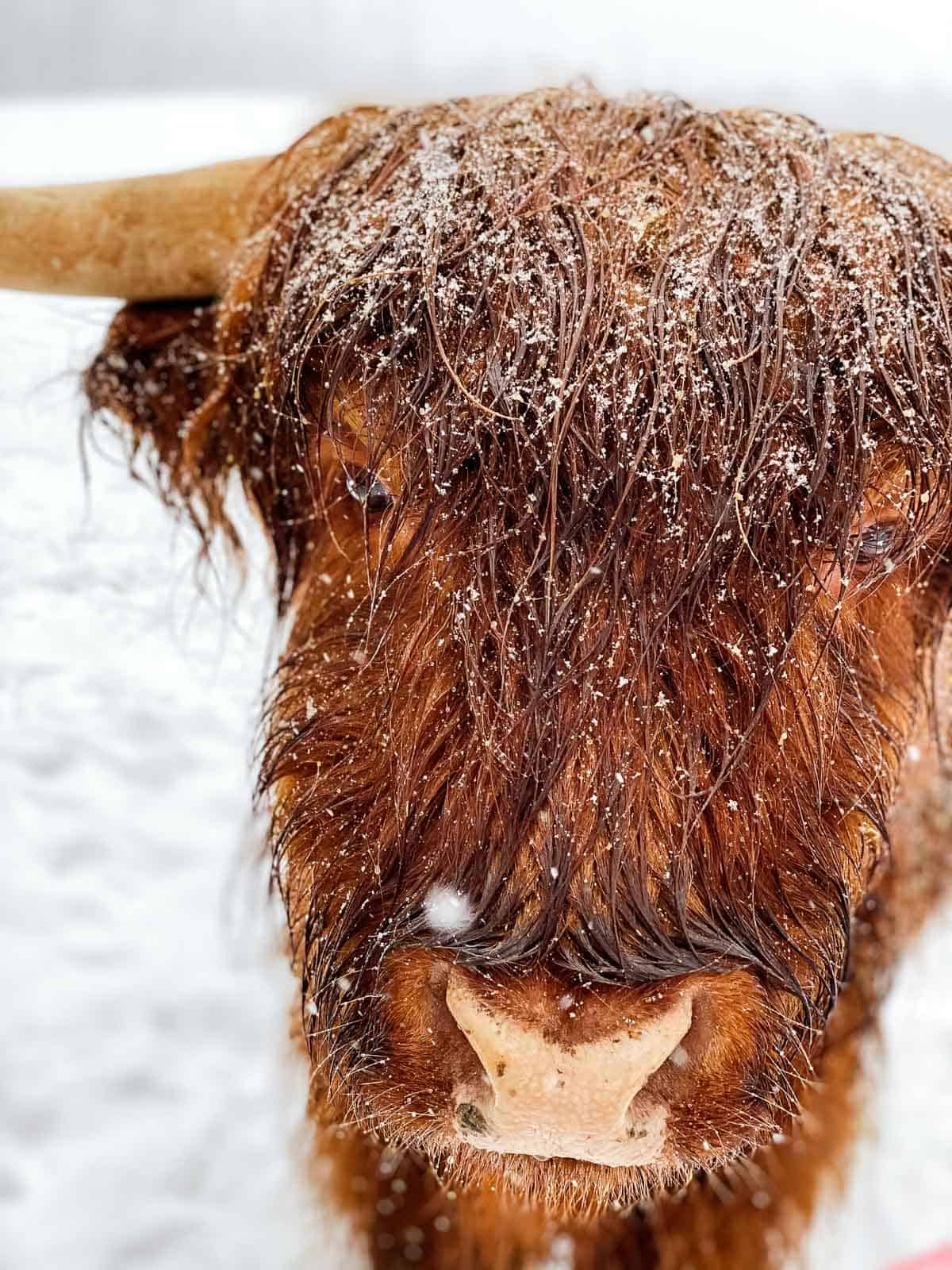 close up of brown highland cattle with snow on his fur